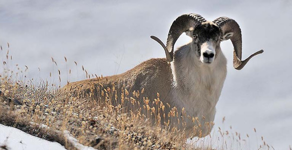 Argali Marco Polo jagd in TADSCHIKISTAN huntingexpert