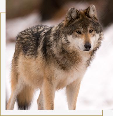 Wolfjagd in Rumanien Europa Hunting Expert